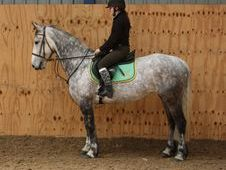 All Rounder horse - 8 yrs 15.2 hh Dapple Grey - Cleveland