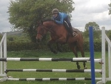 Eventers horse - 8 yrs 5 mths 15.2 hh Bay - Dorset
