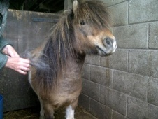 Miniatures horse - 5 yrs 7.0 hh Other - Staffordshire