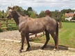 Quarter Horses for Sale horse - 4 yrs 14.3 hh Grey - Somerset