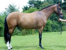 All Rounder Horse - 7 Yrs 15. 2 Hh - Kent