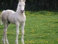 Welsh Part Bred Colt Foal