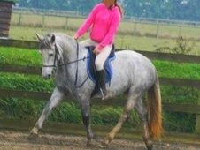 All Rounder horse - 5 yrs 14.0 hh Grey - Kent