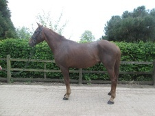 All Rounder horse - 4 yrs 15.3 hh Chestnut - Hertfordshire