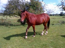 Young Stock  horse - 3 yrs 10 mths 16.1 hh Bright Bay - West Midl...