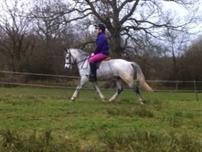 Mountain & Moorland horse - 5 yrs 1 mth 12.0 hh Grey - Devon