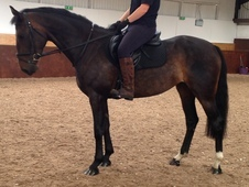 Exciting 4yr Old B. E/b. S/b. D/show Prospect