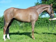 All Rounder Horse - 6 Yrs 16. 0 Hh - Sussex