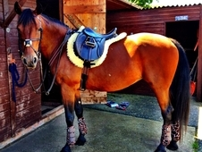 16hh Anglo Arab 16 Years Mare
