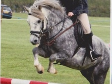 All Rounder horse - 8 yrs 12.2 hh Dapple Grey - Wiltshire