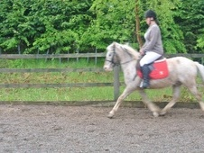 All Rounder horse - 9 yrs 12.2 hh Strawberry Roan - West Midlands