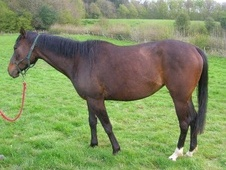All Rounder horse - 4 yrs 15.0 hh Bay - East Sussex