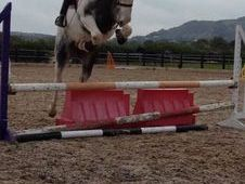 16hh Blue And White Mare 5yr Old Dutch Warmblood Cross Cob