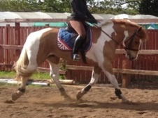 All Rounder horse - 9 yrs 16.1 hh Skewbald - Northumberland