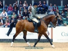 All Rounder horse - 12 yrs 10 mths 16.2 hh Bay - Lancashire