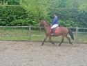 All Rounder horse - 8 yrs 14.3 hh Bay - West Midlands