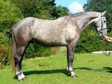 All Rounder Horse - 5 Yrs 16. 1 Hh - Sussex