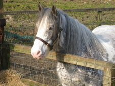 Unusual Blue Blagdon in foal to Palomino traditional cob