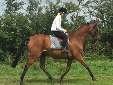 16. 2hh gelding. Safe and beautiful