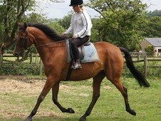16. 2hh, genuine horse, 9 yrs gelding