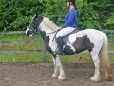 All Rounder horse - 12 yrs 14.0 hh Coloured - West Midlands