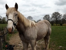 Young Stock  horse - 1 yr 1 mth 18.0 hh Other - South Glamorgan