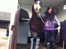 All Rounder horse - 4 yrs 13.1 hh Dark Bay - Lancashire