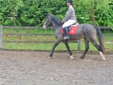 All Rounder horse - 7 yrs 14.2 hh Strawberry Roan - West Midlands
