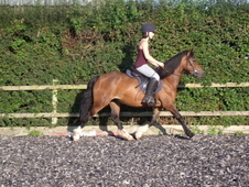 14hh Welsh Cob Mare - 3 Years