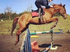 Super Potential! 16. 1 Chestnut Mare All Rounder