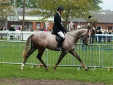 Ex Racehorses horse - 4 yrs 3 mths 16.0 hh Rose Grey - Nottingham...