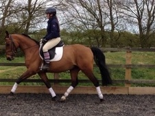 All Rounder horse - 5 yrs 9 mths 14.1 hh Bay - Essex