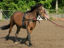 Cobs horse - 7 yrs 4 mths 15.0 hh Bay - Hampshire