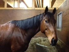 Light Hacks horse - 10 yrs 1 mth 17.1 hh Dark Bay - Northamptonshire
