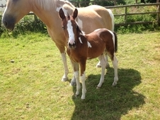 Gorgeous foal for sale REDUCED price! !