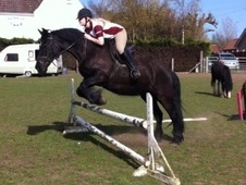All Rounder horse - 15 yrs 14.2 hh Black - Lincolnshire