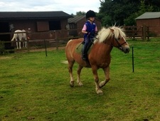 13'2, 15 Year Old Palomino Haflinger Mare