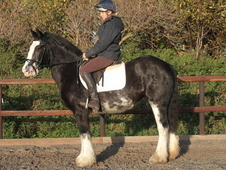 Beautiful and Kind 14: 3hh Black Blagdon Mare