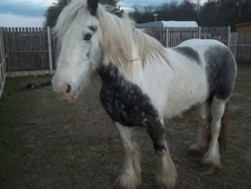 All Rounder horse - 6 yrs 8 mths 15.3 hh Blue & White - West York...