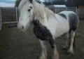 All Rounder horse - 6 yrs 8 mths 15.3 hh Blue & White - West Yorkshire