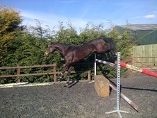 Show Jumpers horse - 4 yrs 16.0 hh Bay - Leicestershire
