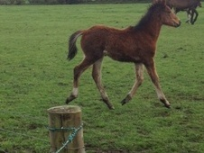 Young Stock  horse - 4 mths 15.0 hh Bay - Lancashire