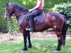 14. 0hh Pretty Irish Bay Mare 7yrs