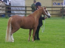 All Rounder horse - 5 yrs 11.2 hh Chestnut - Bedfordshire