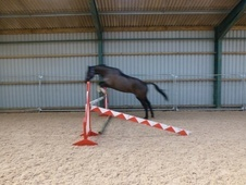 Dressage horse - 9 yrs 17.3 hh Dark Bay - Lancashire