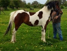 Coloured horse - 4 yrs 14.2 hh Skewbald - Hertfordshire