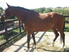 All Rounder horse - 17 yrs 2 mths 17.0 hh Bright Bay - East Sussex