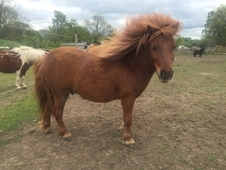 Flashy Miniature Shetland for sale