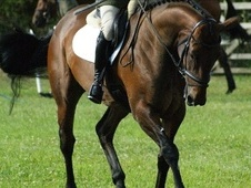 All Rounder horse - 6 yrs 16.3 hh Bay - Wiltshire