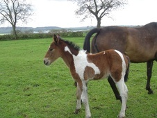 Young Stock  horse - 1 mth 16.0 hh Coloured - Lancashire
